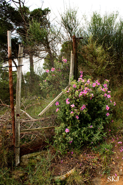 A pink flowering bush next to an old fence in Barcelona. photo by Shara Johnson
