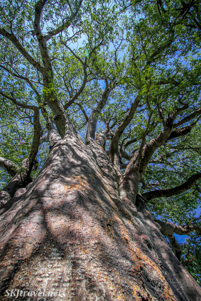 Looking up an ancient baobab tree at Baines Baobabs, Nxai Pan, Botswana.