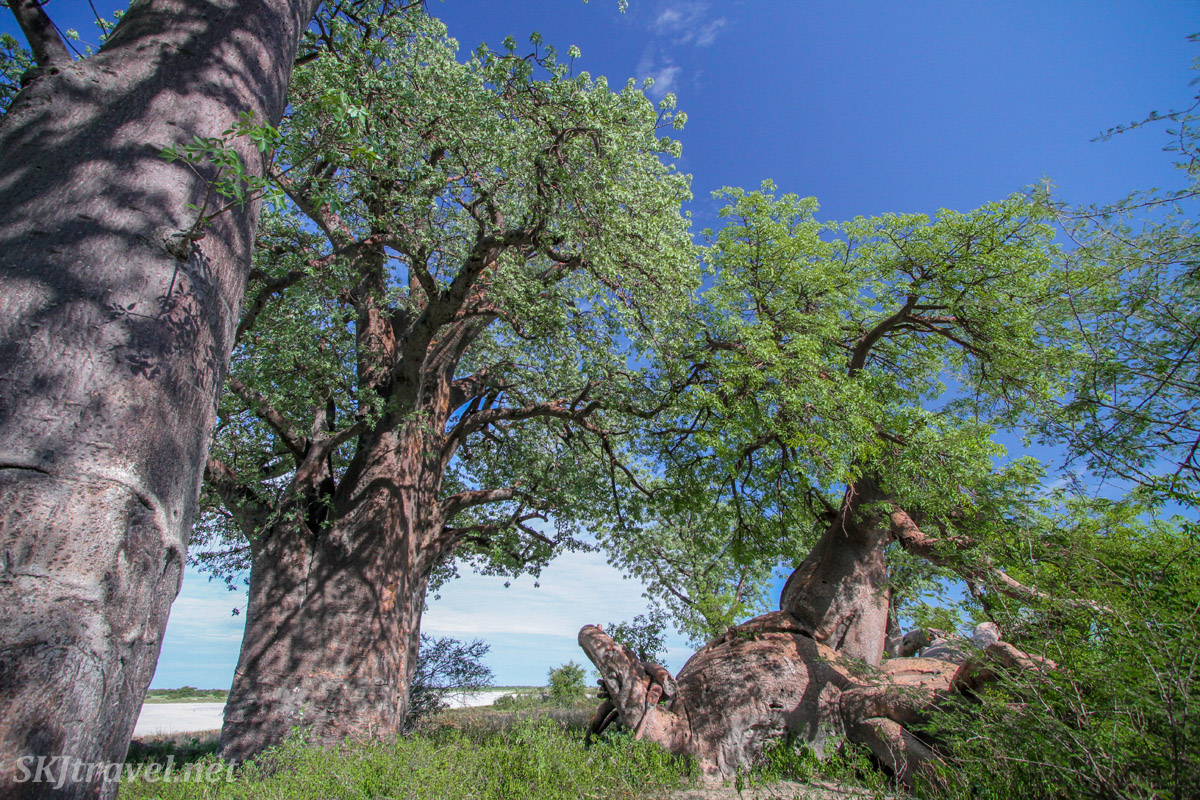 Baines Baobabs, Nxai Pan, Botswana. At least 800 years old.