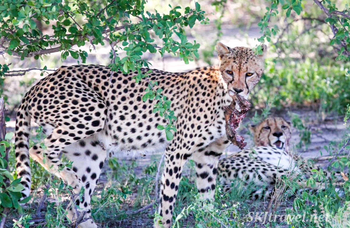 Cheetah holding a chunk of springbok meat in his mouth. Nxai Pan, Botswana.