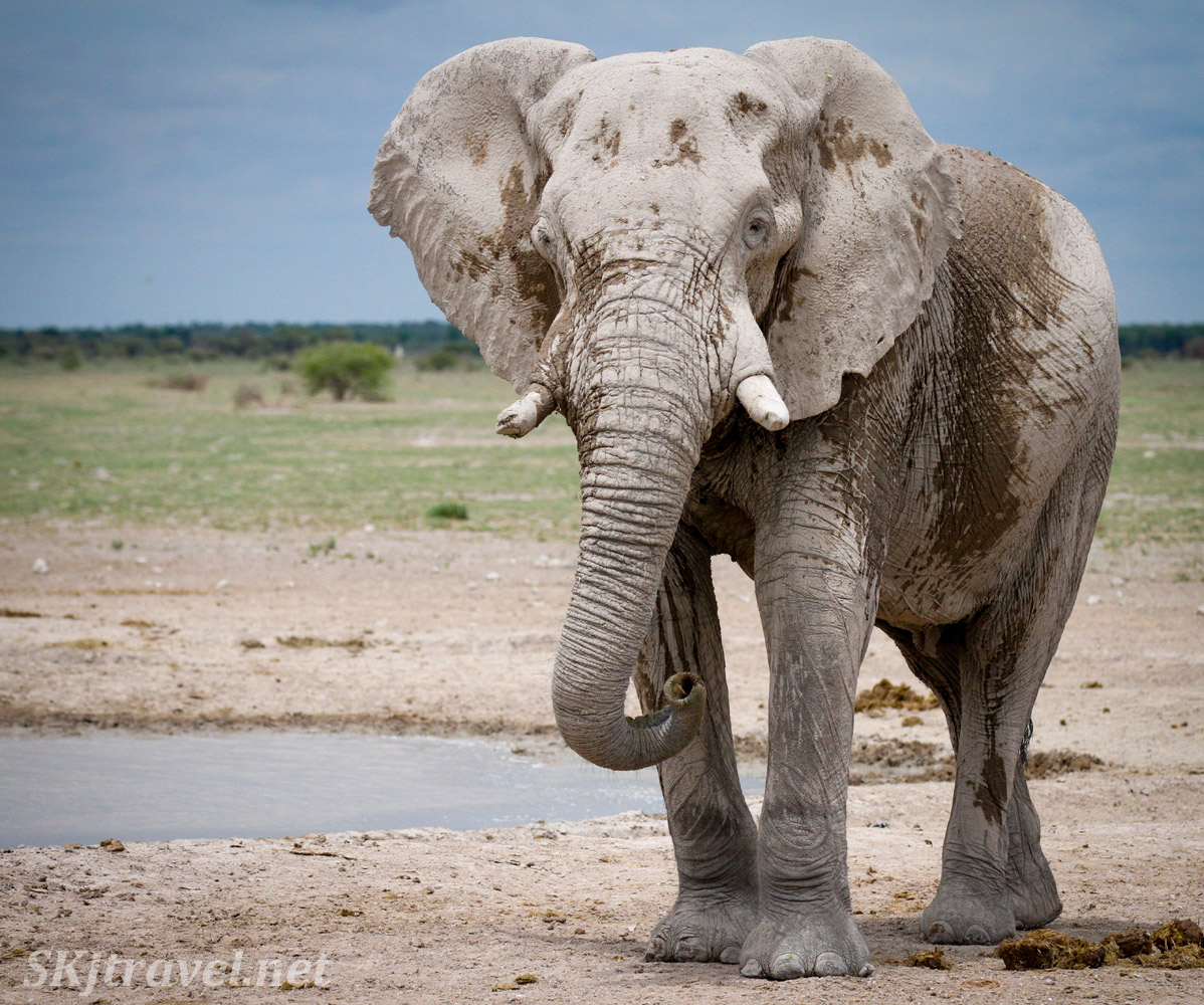 Bull elephant at the Nxai Pan, Botswana.
