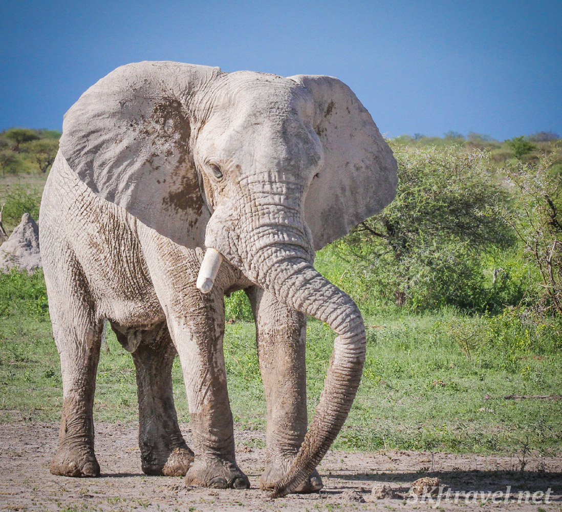 Elephant showcasing his long trunk. Nxai Pan, Botswana.