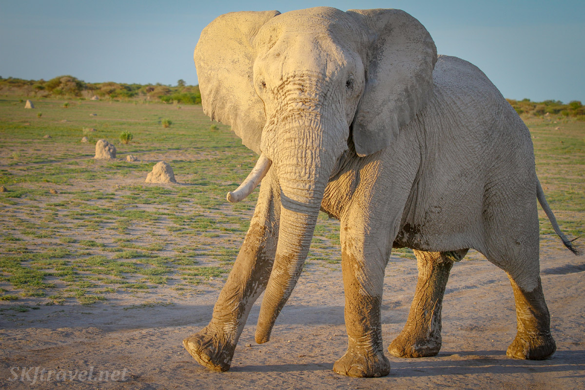 Elephant about to break out into song and dance. Nxai Pan, Botswana.