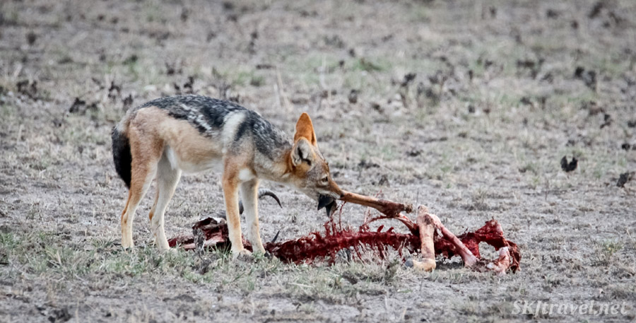 Black backed jackal trying to drag away a springbok carcass. Nxai Pan, Botswana.
