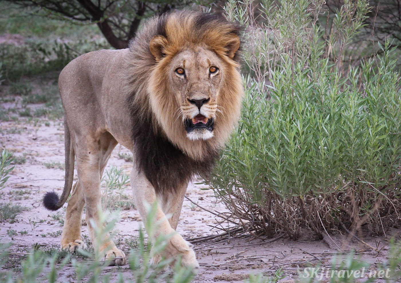 Male lion walking toward me in the Nxai Pan, Botswana.Male lion standing beneath an acacia tree, Nxai Pan, Botswana.