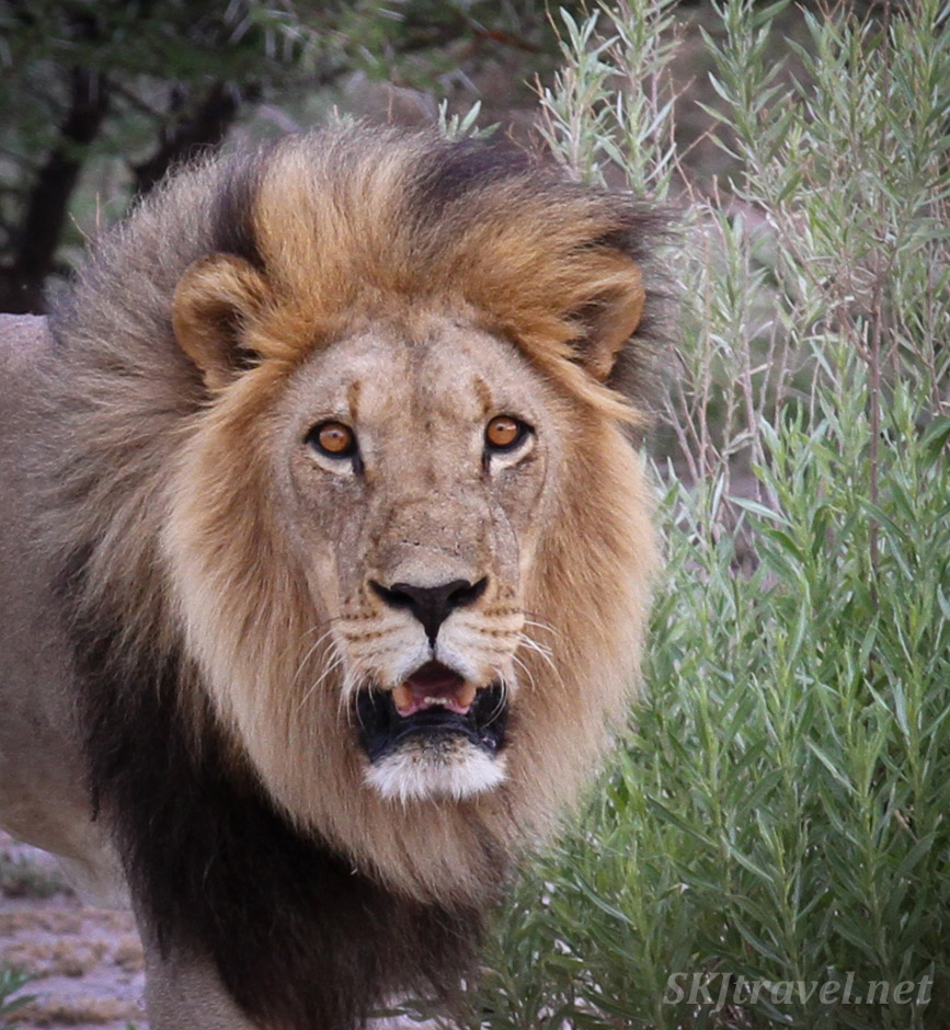 Male lion close up, Nxai Pan, Botswana.