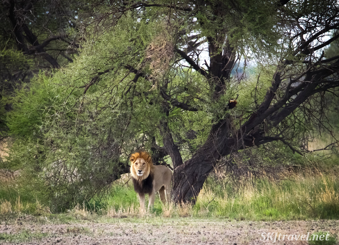 Male lion standing beneath an acacia tree, Nxai Pan, Botswana.