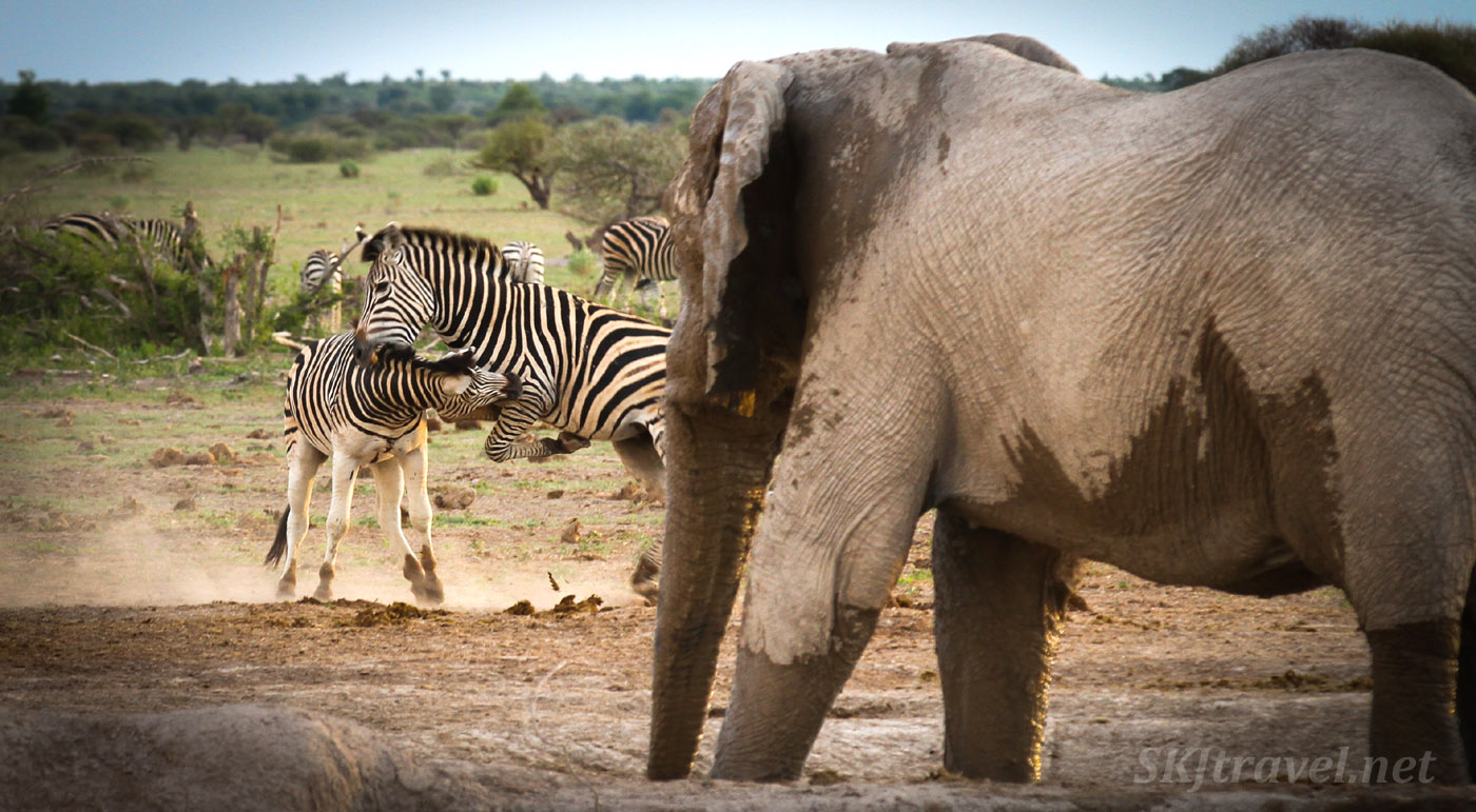 Two zebras in a scuffle, nipping each other, at the waterhole. Nxai Pan, Botswana. An elephant watches on.
