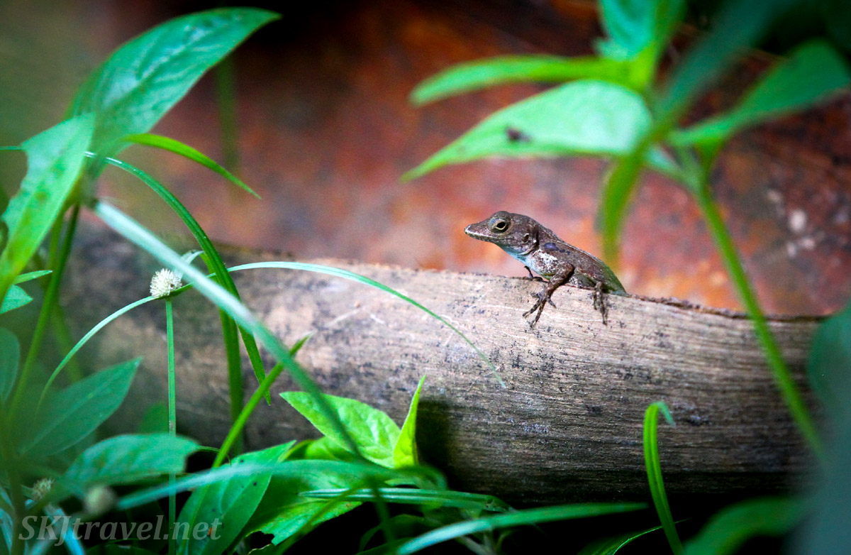 Tiny lizard on a log, El Yunque National Park, Puerto Rico.