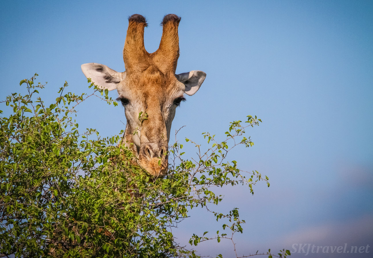 Giraffe face cresting a tall tree, Central Kalahari Game Reserve, Botswana.