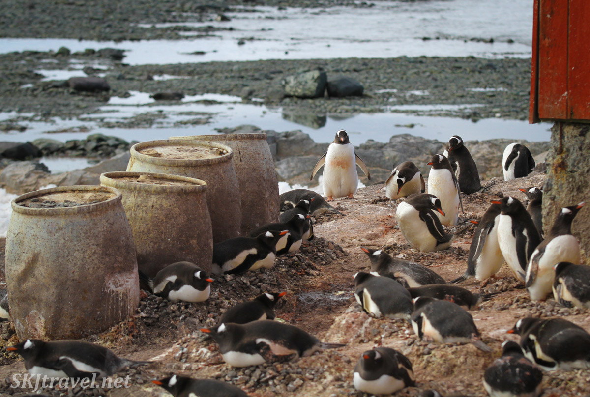 Penguins nesting beside old barrels, Mikkelsen Harbour, Antarctica.