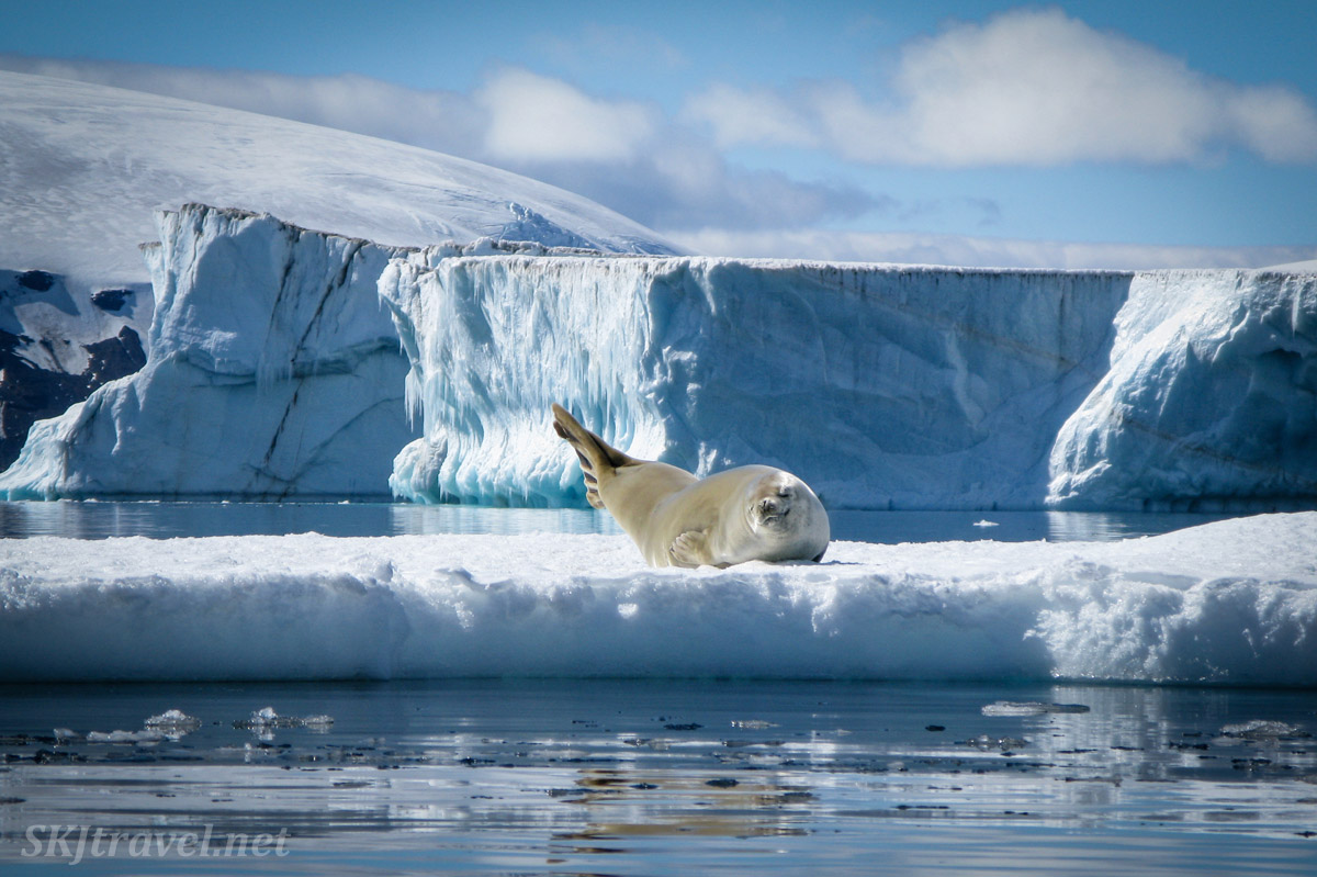 Seal on an iceberg, Brown Bluff, Antarctic Sound.