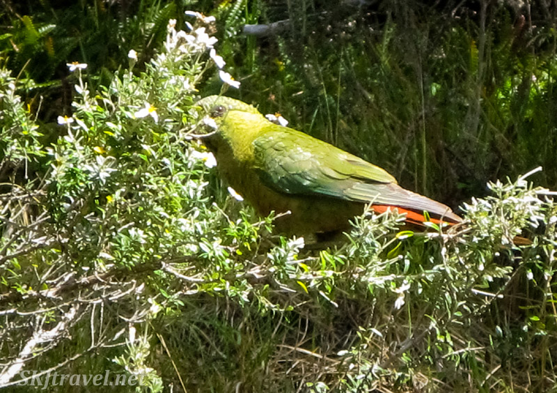 Green parrot in Tierra del Fuego National Park, Argentina.