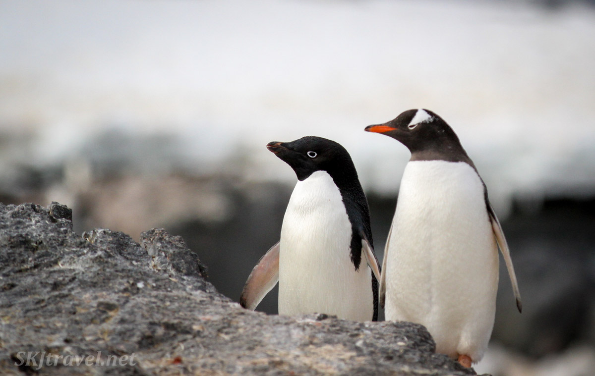 Gentoo penguin and adelie penguin looking at the same thing together. Gourdin Island on the Trinity Peninsula, Antarctica.