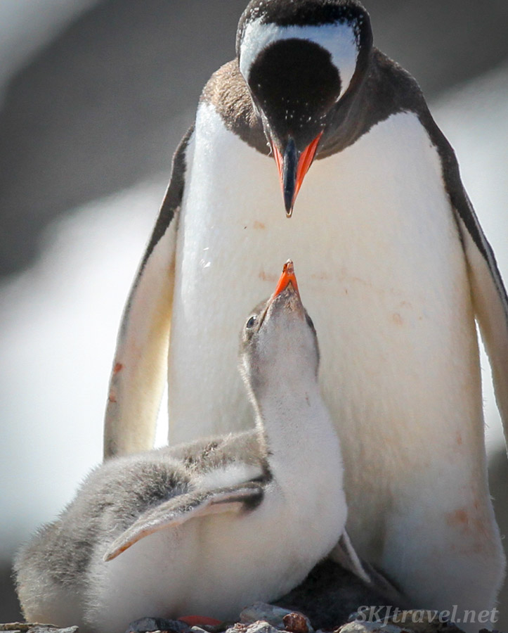 Gentoo penguin chick and parent looking at each other. Yankee Harbor, South Shetland Islands.