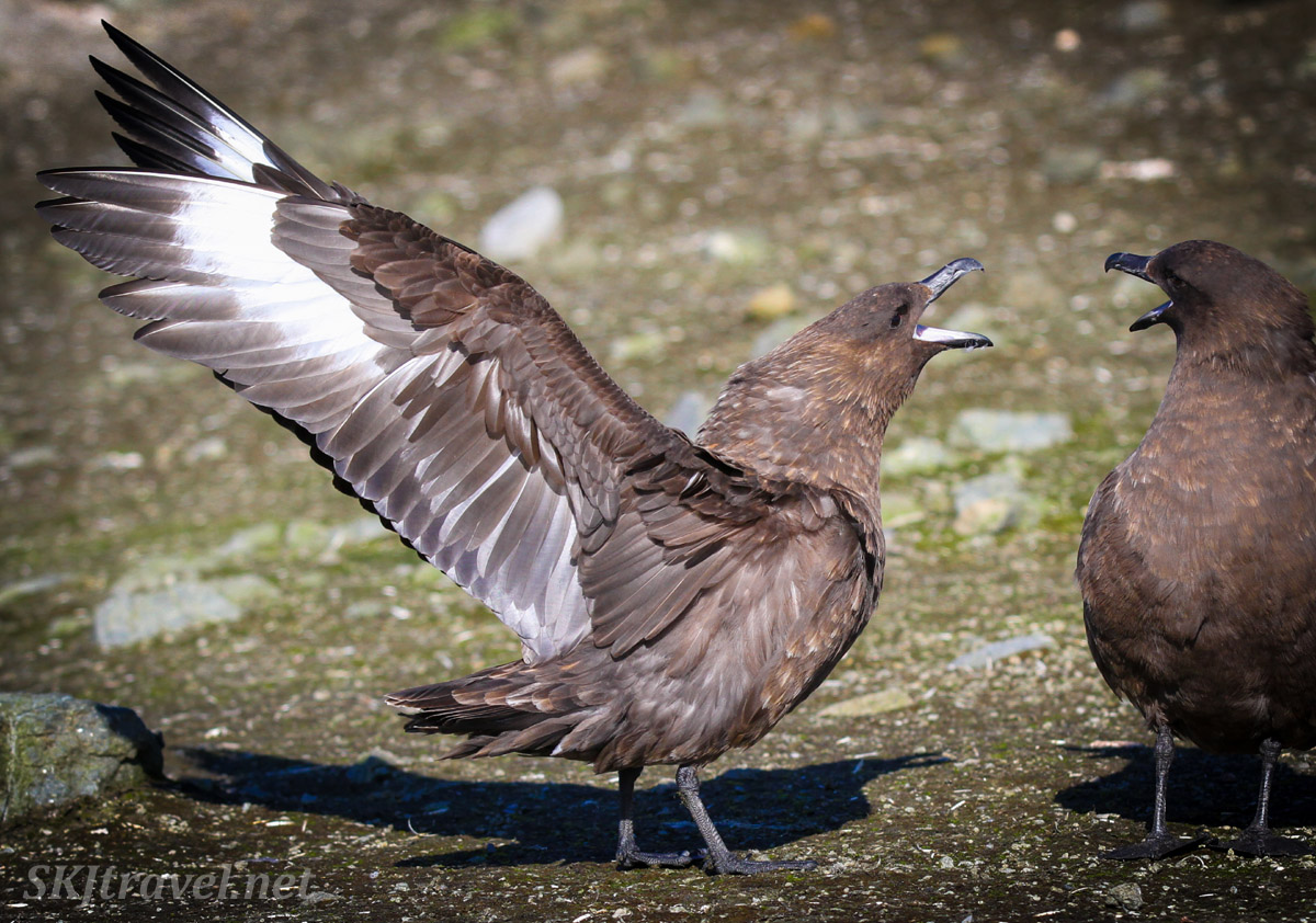 Skua scolding another skua. Brown Bluff, South Shetland Islands.
