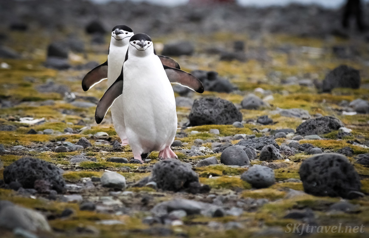 Pair of chinstrap penguins walking across the mossy beach at Penguin Island, South Shetland Islands.