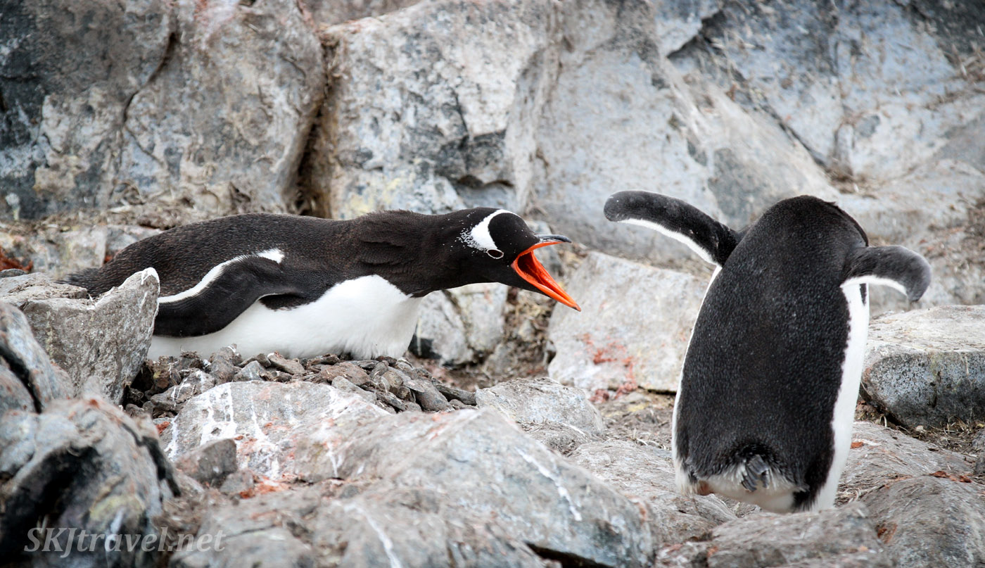 Gentoo penguin defending its nest, Penguin Island, South Shetlands.