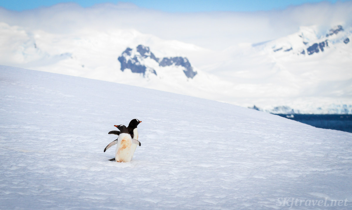 Pair of gentoo penguins dancing on the snow, Mikkelsen Harbour, Antarctica.
