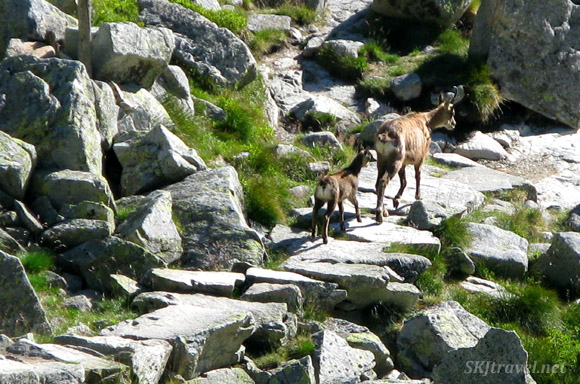 Mother chamois walking a stone path with her baby in the High Tatras, Slovakia.