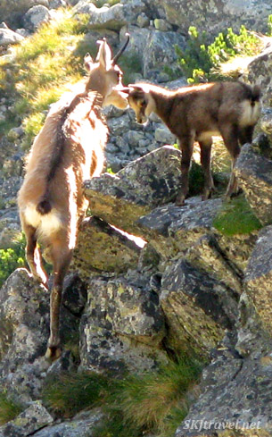 Chamois mother and baby on a steep rock face. photo by Shara Johnson