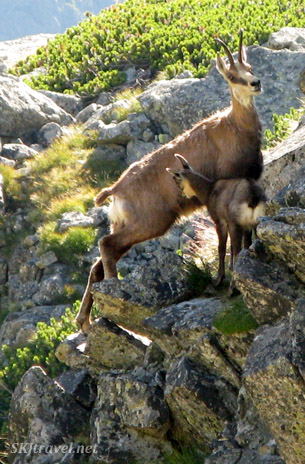 Baby chamois looking for some milk from mom in the High Tatras, Slovakia.