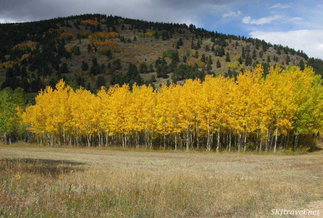 Stand of aspen trees with golden autumn leaves, Caribou Ranch Open Space, Nederland, Colorado.