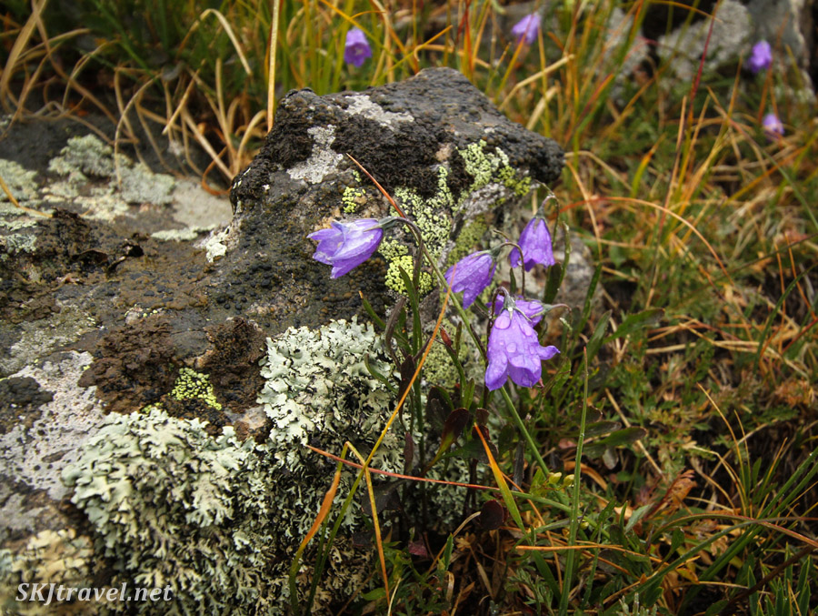 Harebells still blooming in late August at the top of Kingston Peak pass, Colorado.