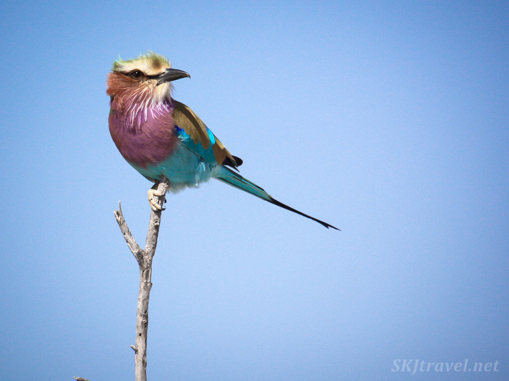 Lilac breasted roller against a pure blue sky, Etosha national park, Namibia.
