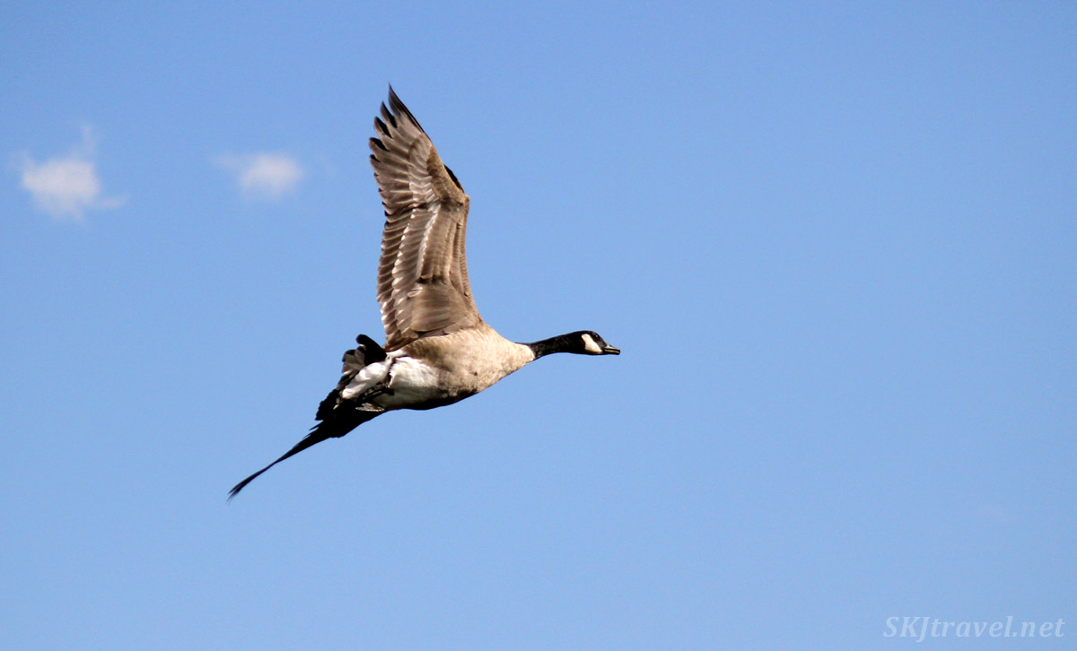 Canadian goose in flight, Walden Ponds, Boulder, Colorado.