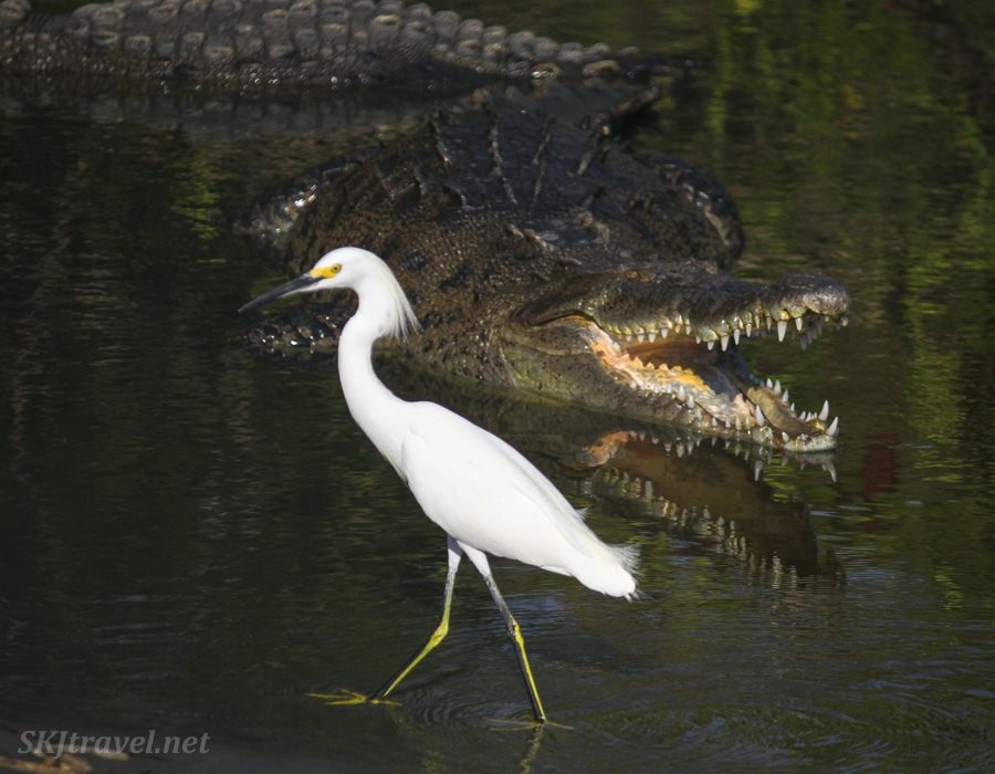 Egret casually strolling through the water in front of a crocodile with a wide open mouth. Ixtapa, Mexico.