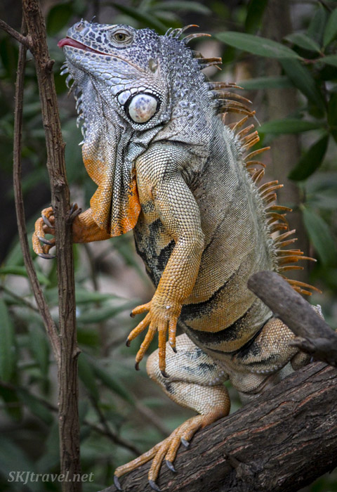 Male iguana getting jiggy with a slim branch at the crocodile sanctuary in Ixtapa, Mexico.