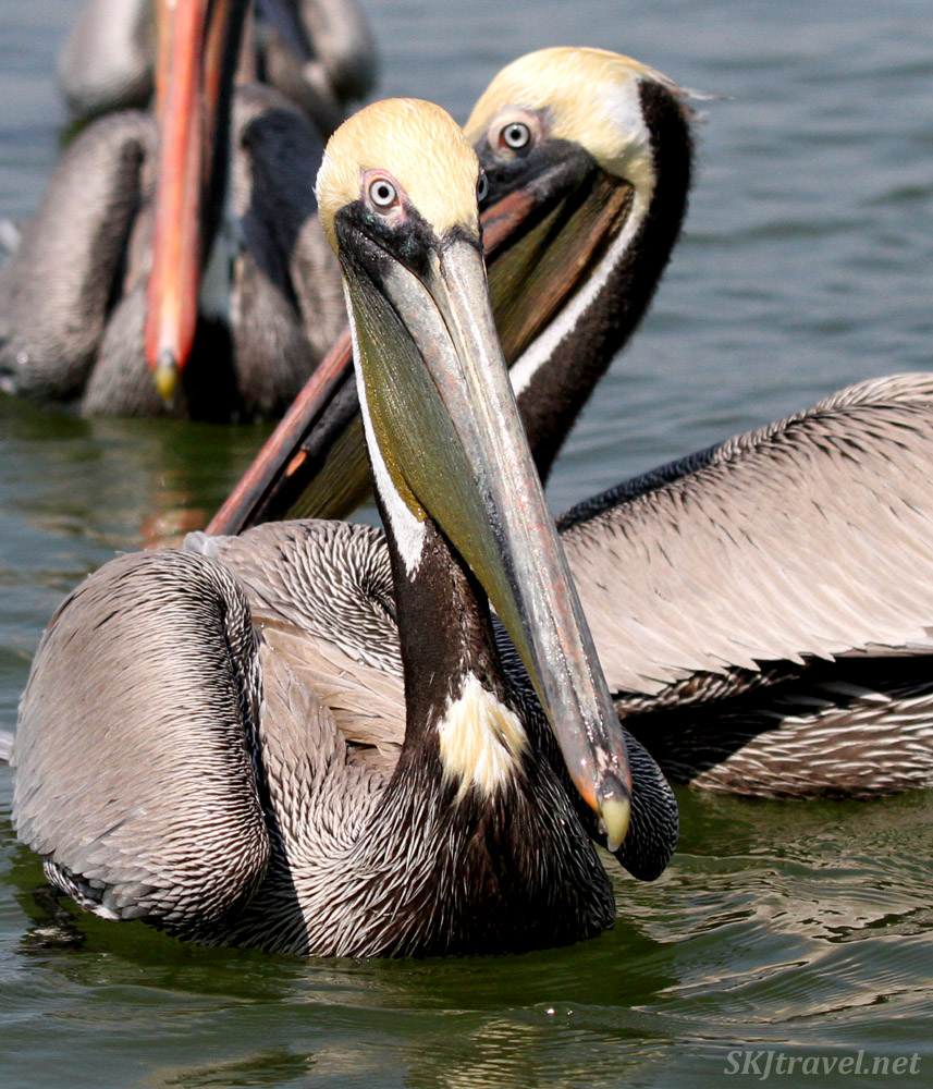 Pelicans on the water at Barra de Potosi wildlife reserve in Zihuatenajo, Mexico.