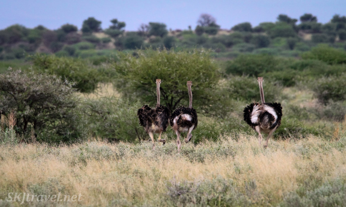 Three ostriches striding across the grassy landscape of Central Kalahari Game Reserve in the green season. Botswana.