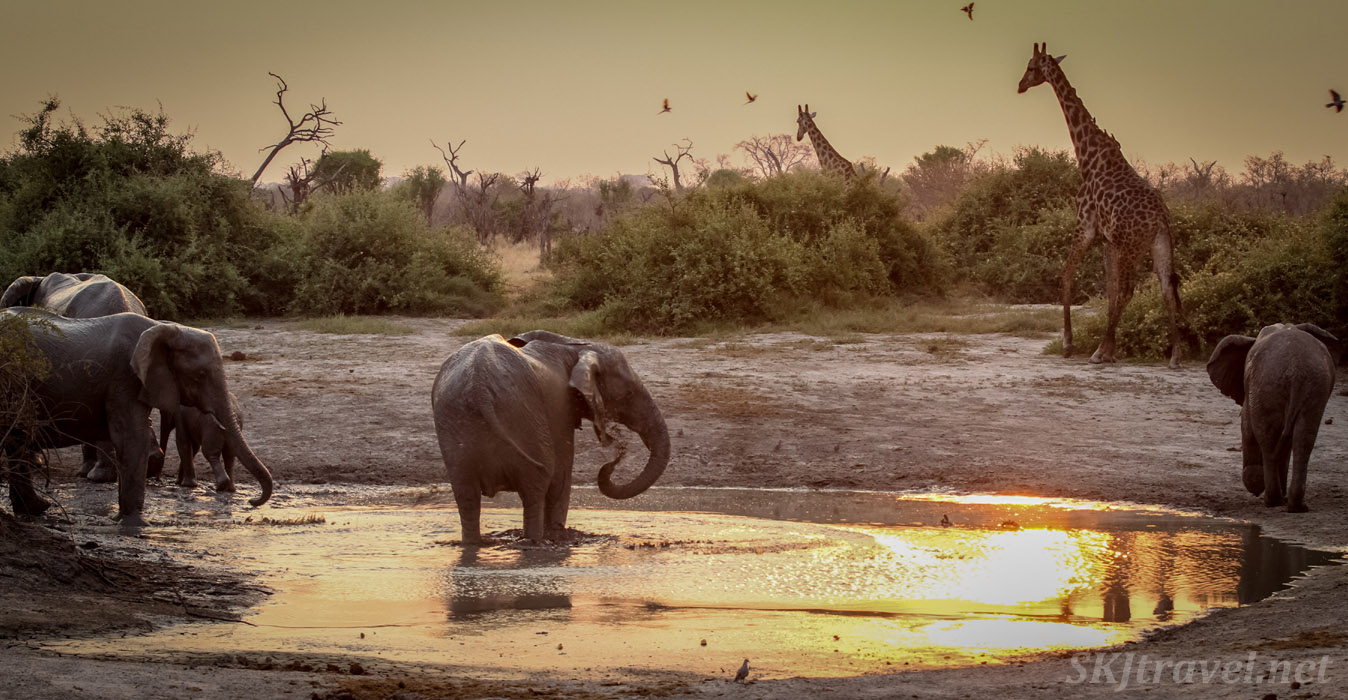 Waterhole in Savuti game reserve, Botswana, with elephants, giraffes and birds at golden sunset.