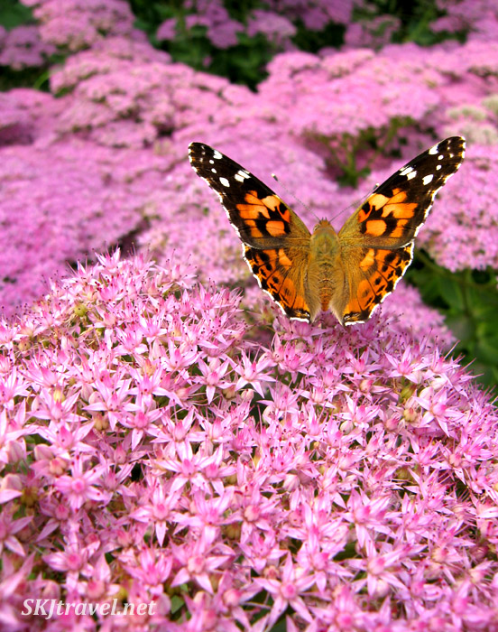 Butterfly on pink bushes in a park in Beijing, China.