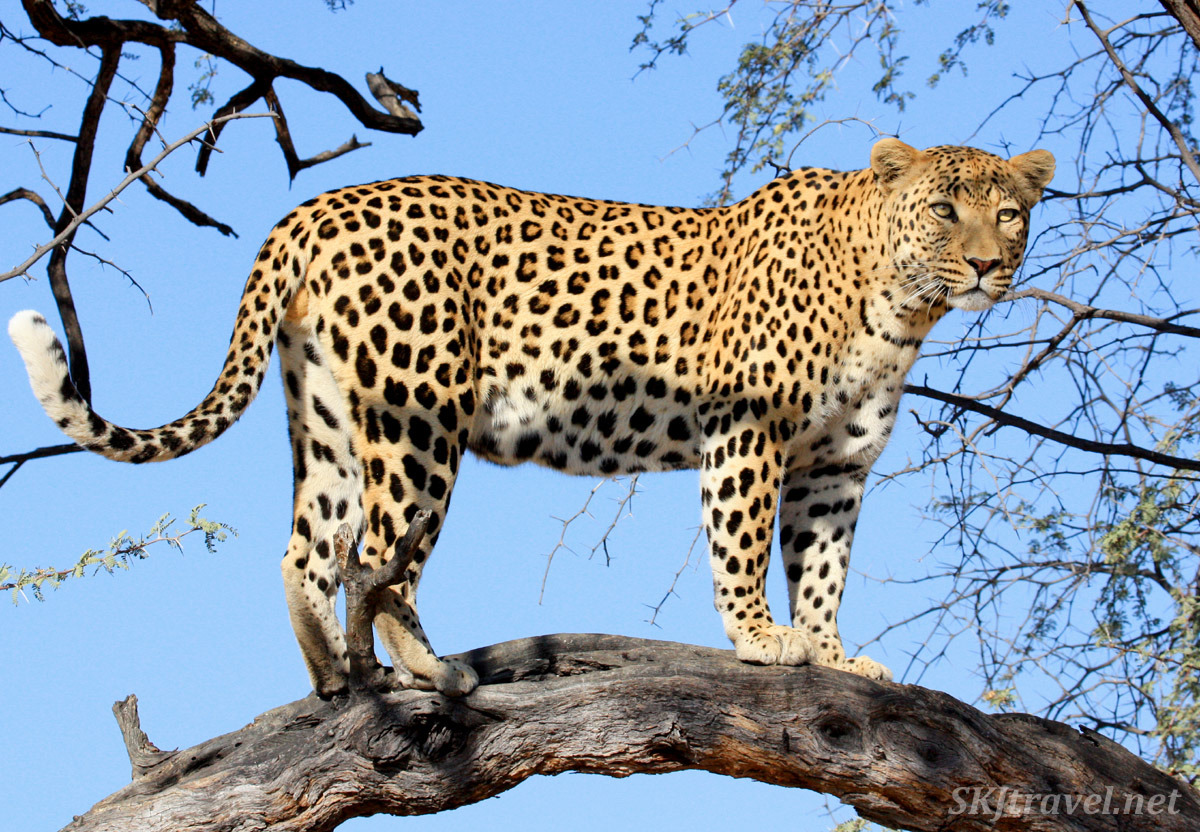 Male leopard in a tree at Dusternbrook game reserve near Windhoek, Namibia.