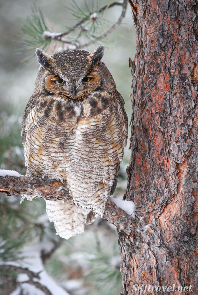 Great horned owl on a snowy morning in my backyard, Nederland, Colorado.