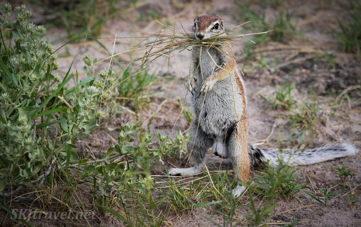 South African ground squirrel foraging in the afternoon, standing like a meerkat. Botswana.