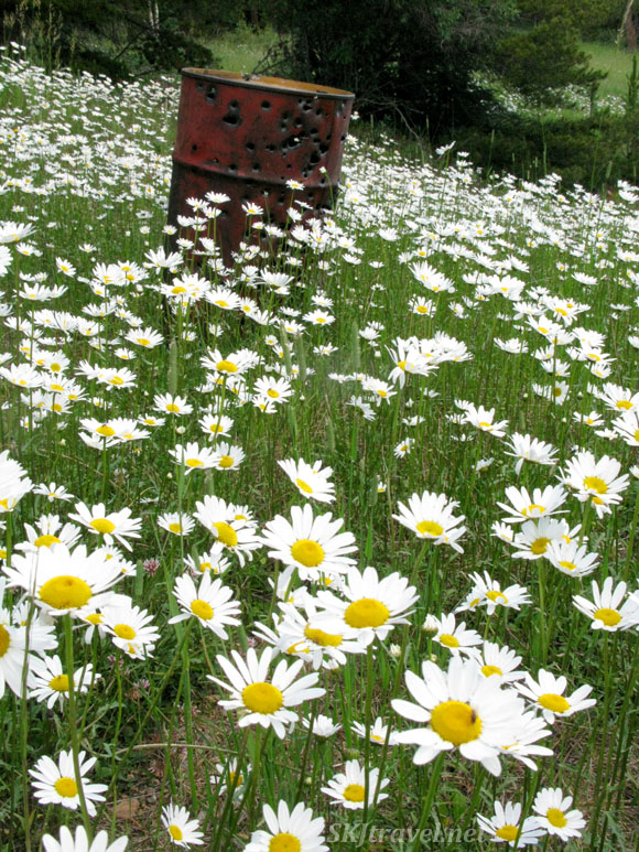 Rusting oil drum used for target practice in a lovely field of daisies. Funny combo. Gamble Gulch Road, Rollinsville, Colorado.