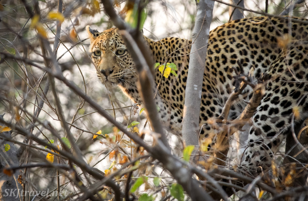 Female leopard in a tree avoiding wild African dogs, Khwai Concessions, Botswana. Leopardess.