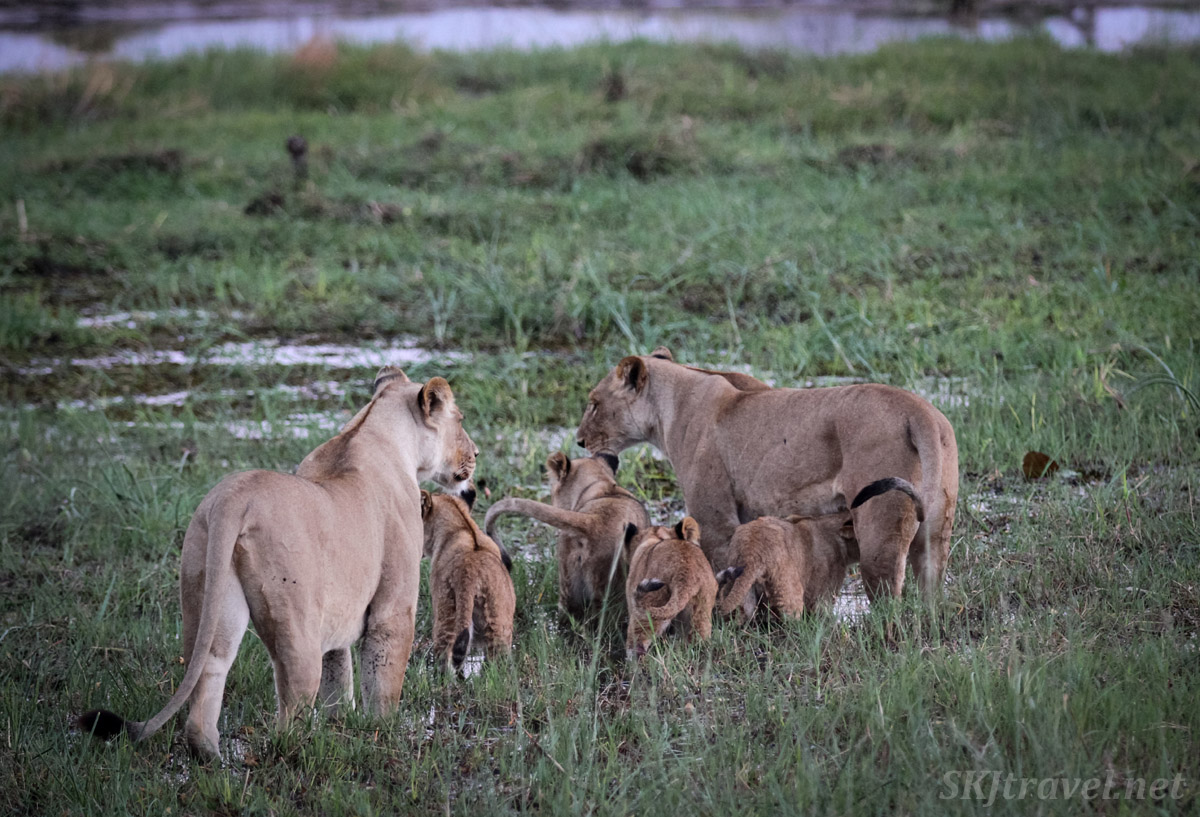Lionesses and cubs heading toward the river, hoping to cross it. Khwai Concessions, Botswana.