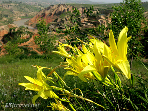 Day lilies on a hillside overlooking the village of Dang Jia Shan, Shaanxi Province, China.