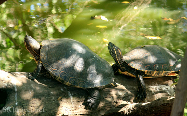 Two turtles standing on a log in a lagoon. Photo by Shara Johnson