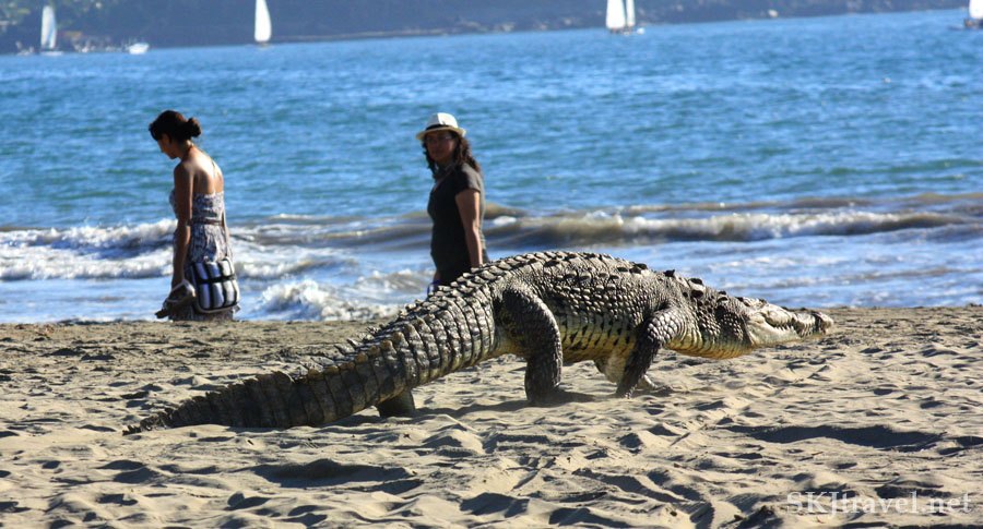 Crocodile walking on the beach, two woman walk along the beach in front of it. Photo by Shara Johnson