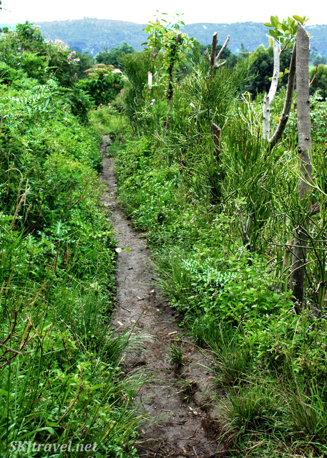 Narrow muddy path through lush fields and weeds along the lower Rwenzori mountain range, Uganda.