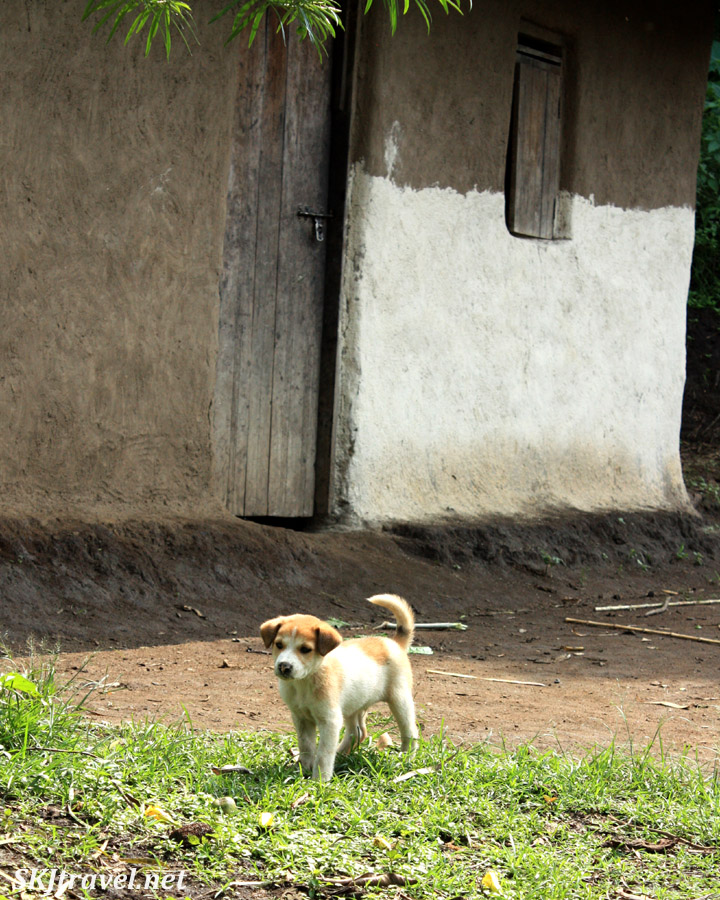 Puppy dog outside a hut in the banana fields near Fort Portal, Uganda.