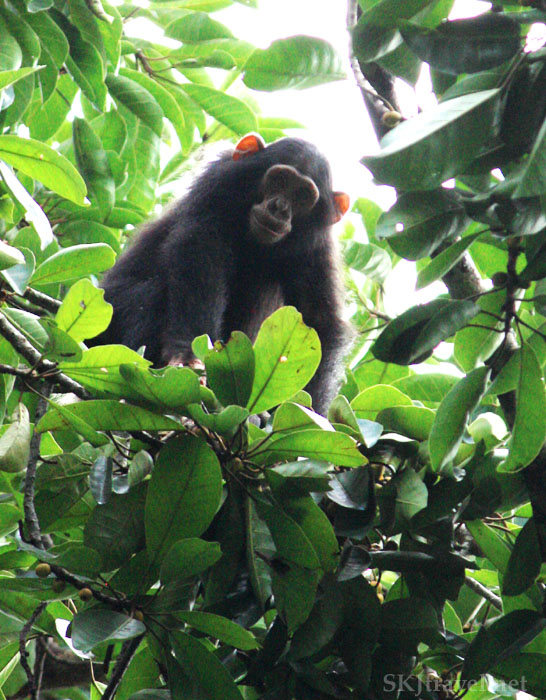 Wild toddler chimp peering down from a tree top, Budongo National Forest, Uganda.
