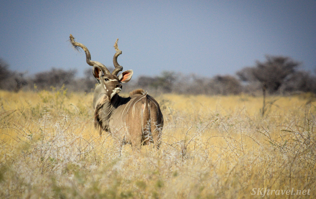 Male kudu on the grassy plains of Etosha national park, Namibia. A little tuft of grass stuck on the end of one of his horns.