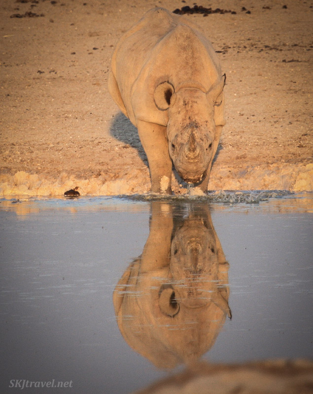 Young black rhino drinking at a water hole, with reflection at sunset in Etosha NP, Namibia. #JustOneRhino